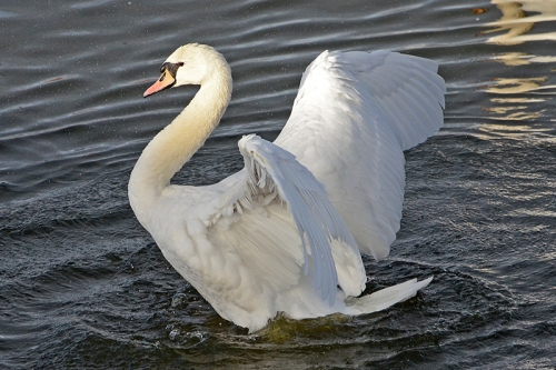 whooper swan flexing its muscles