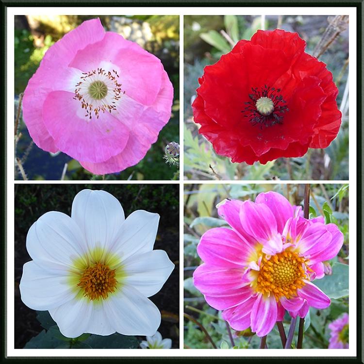 poppies and dahlias