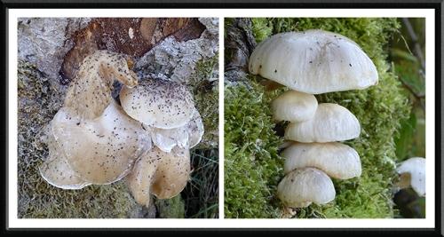 Stubholm fungus