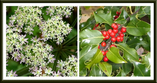 umbellifer and holly