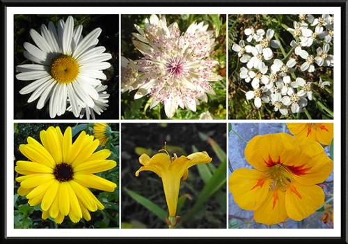 daisy, astrantia, yarrow, marigold, crocosmia and nasturtium