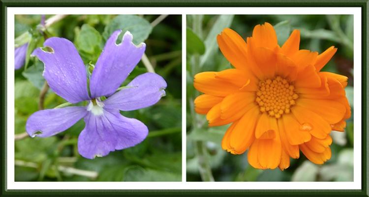 marigold and viola