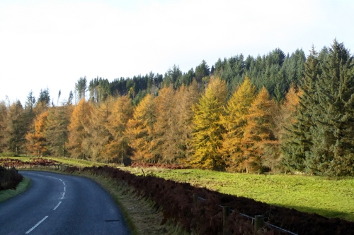 Wauchope larches