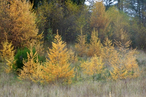 Larches at Auchenrivock