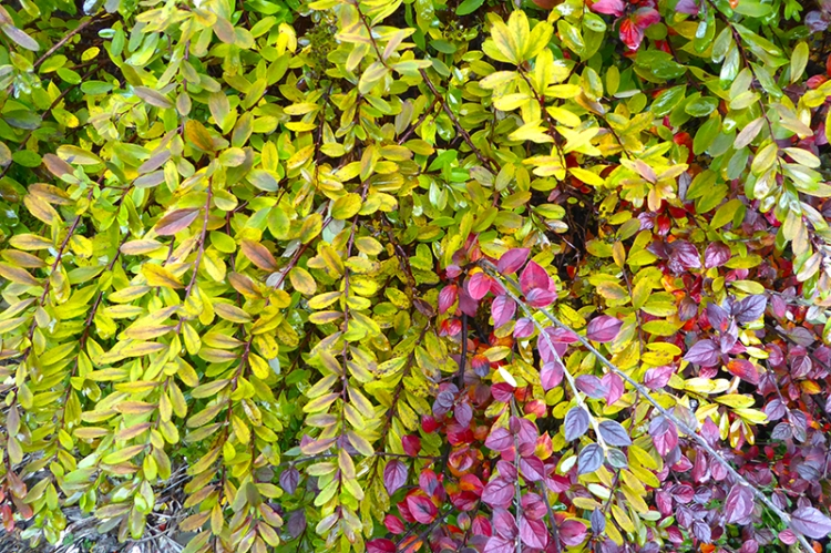 spirea and cotoneaster