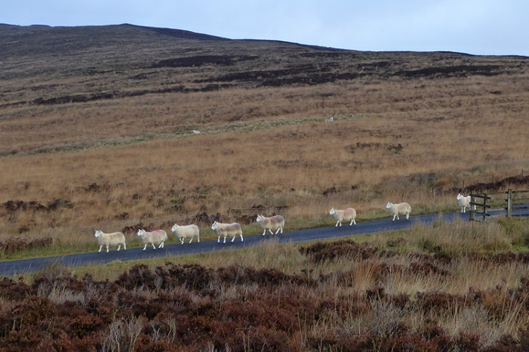 Whita sheep