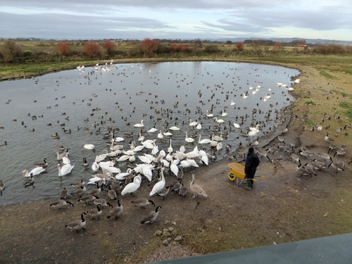 feeding time at Caerlaverock