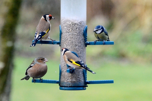 goldfinch, blue tit and chaffinch