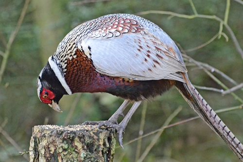 pheasant on stump