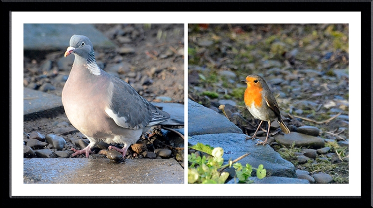 pigeon and robin