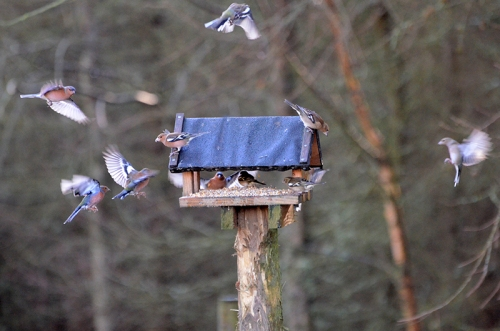 Moorland bird feeder chaffinches