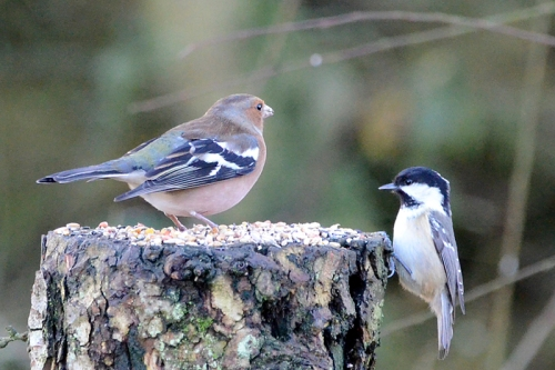 moorland chaffinch and coal tit