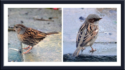 dunnock and sparrow