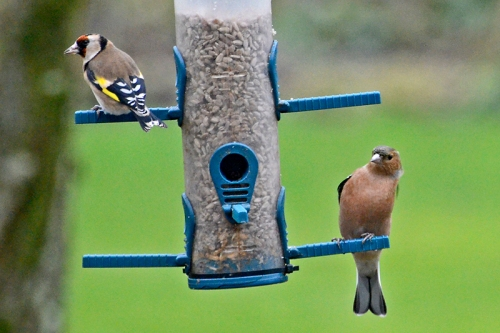 chaffinch and goldfinch