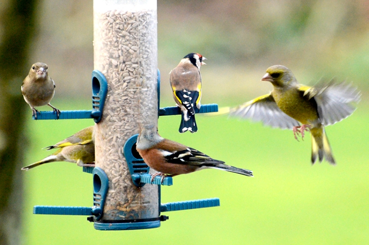 greenfinch, goldfinch and chaffinch