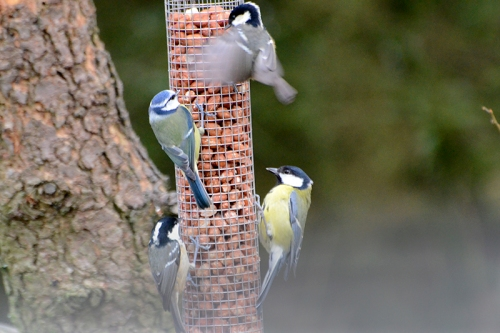 great tit, coal tit and blue tit