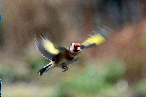 flying goldfinch