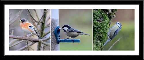 brambling, coal tit and blue tit