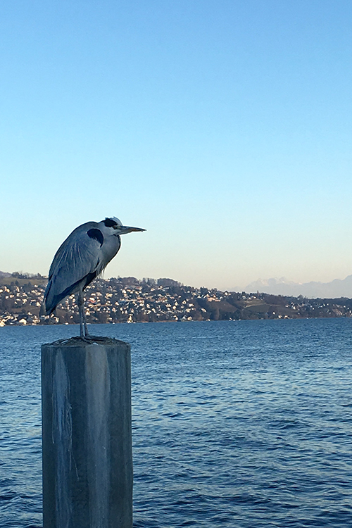 swiss heron