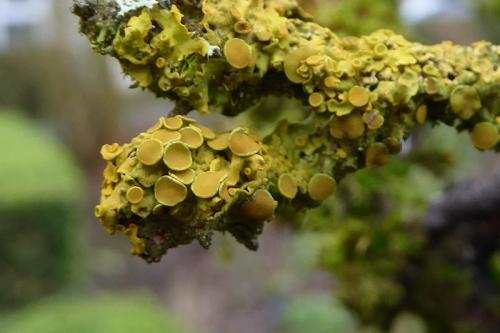 Elder lichen
