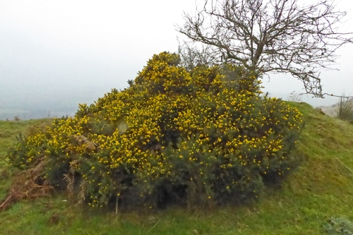 gorse on Whita