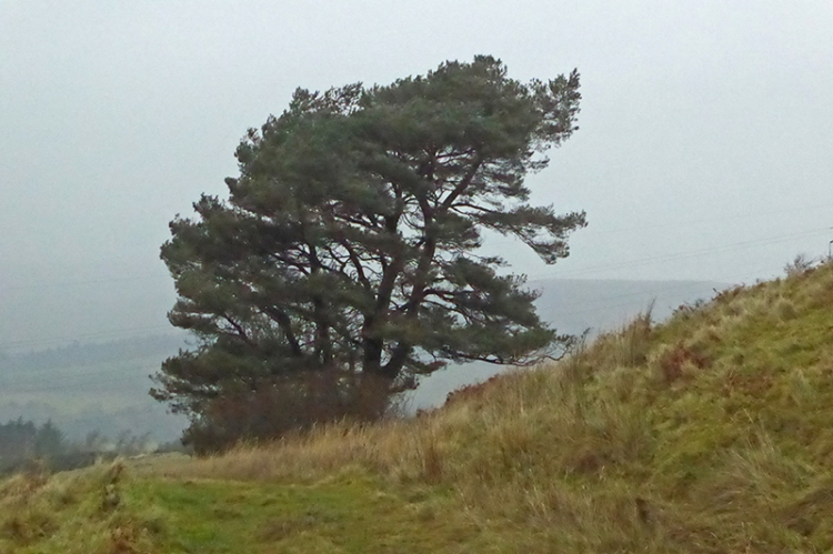 whita tree