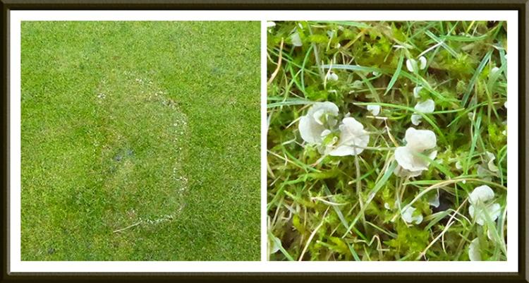 lawn fungus