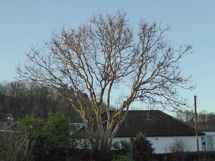 Walnut tree in December