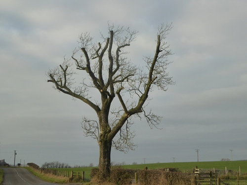 tree at Glenzier