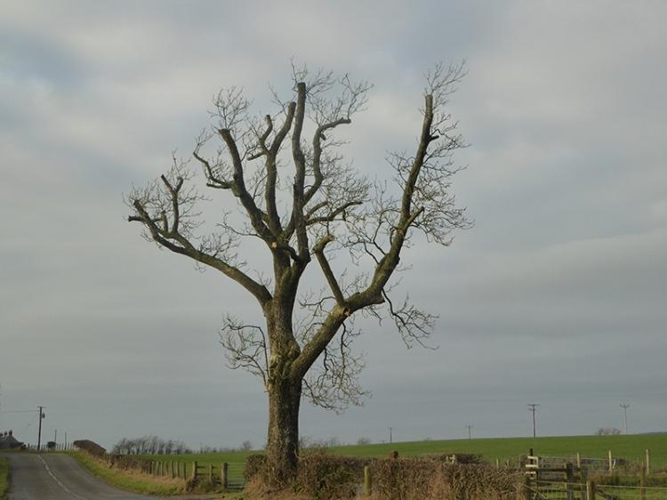 tree at Glenzier