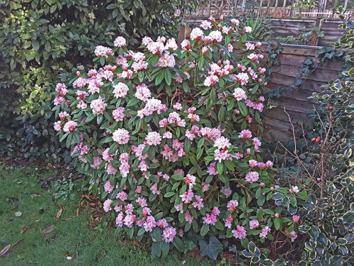 Mary's rhododendron