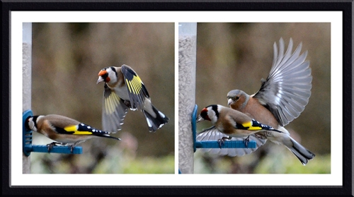 goldfinches and chaffinch