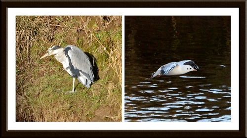 heron and balck headed gull