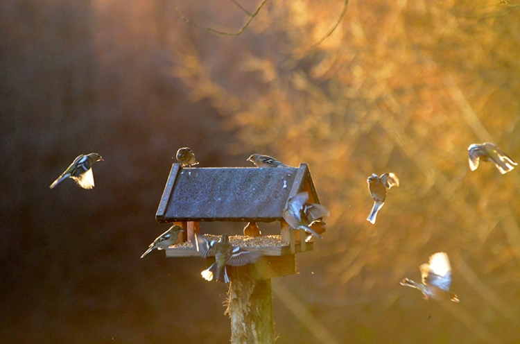 Chaffinches at the Moorland feeders