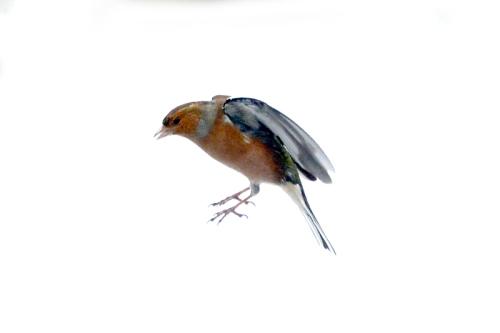 flying chaffinch in snow
