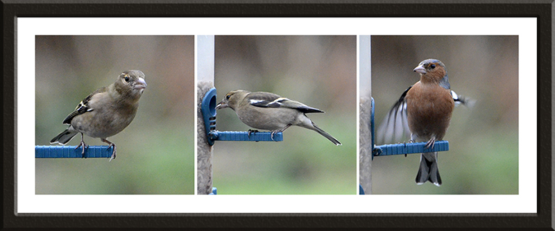 several chaffinches