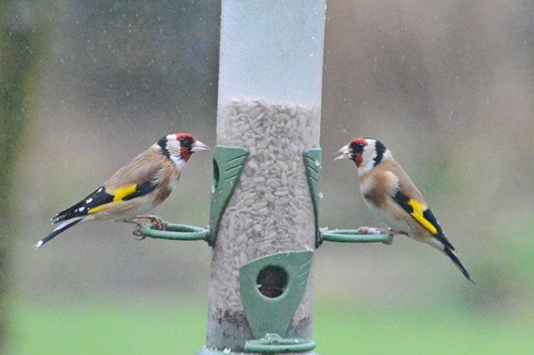 goldfinches in the drizzle