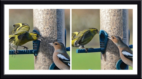 siskin and chaffinch squabbling
