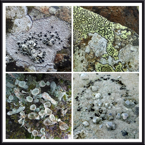 lichen at Blochburnfoot