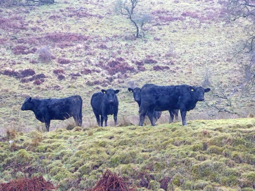 Cows on Warbla