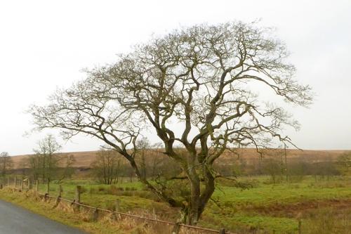 Wauchope School tree
