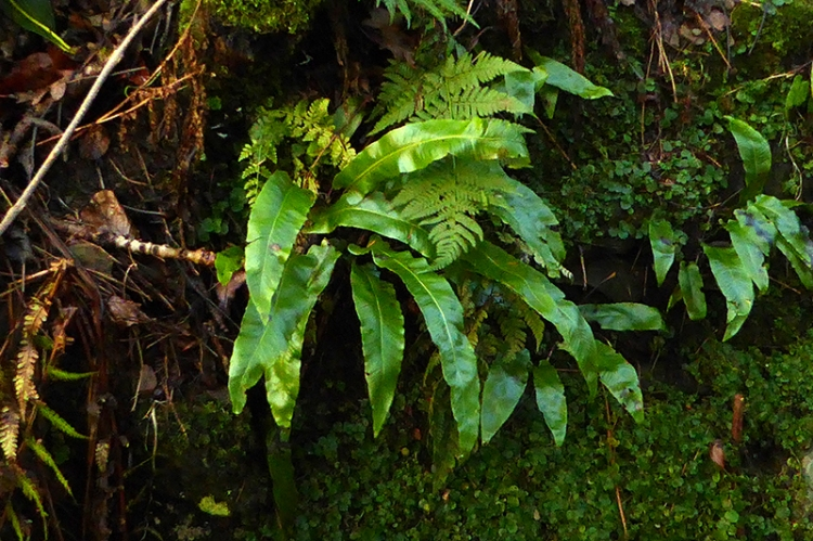 hart's tongue fern
