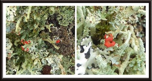 British Soldier lichen Cladonia cristatella