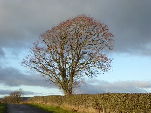 English tree near Englishtown