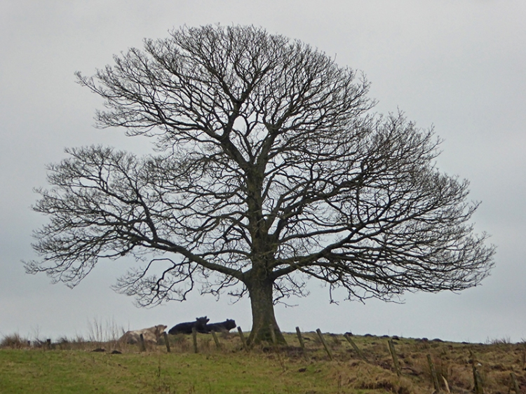 Tree with cows
