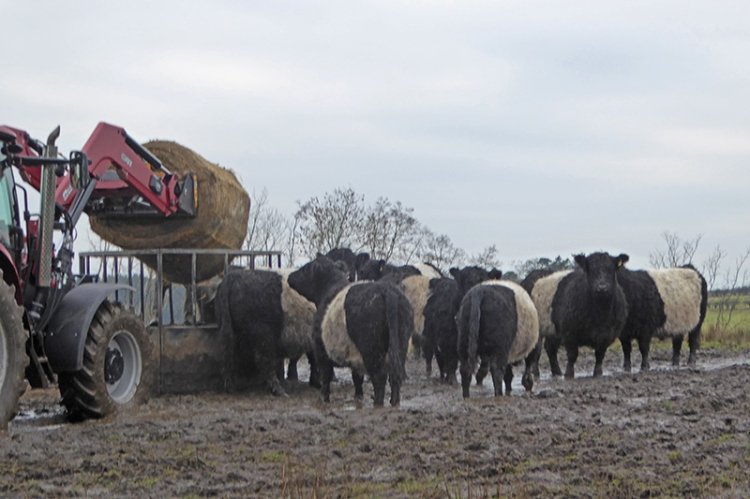 cows being fed