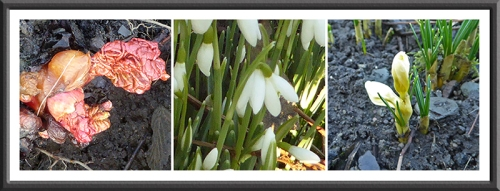 rhubarb, snowdrop and crocus