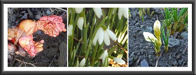 rhubarb, snowdrop and crocus
