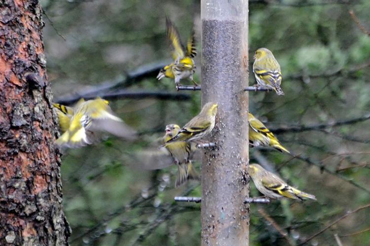 moorland feeder siskins