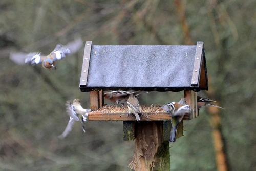 moorland feeder chaffinches